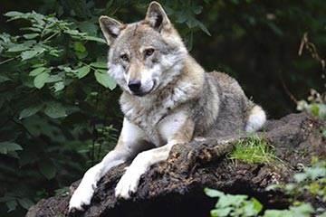 Soñar con Coyote