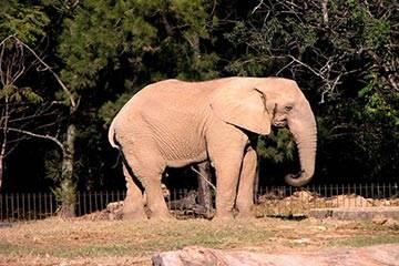 Soñar con Elefante