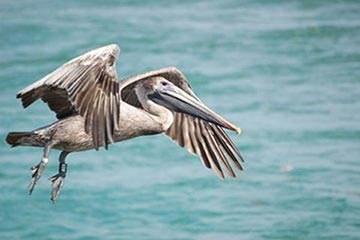 Soñar con Pelicano