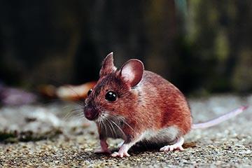 Soñar con Ratas-ratones