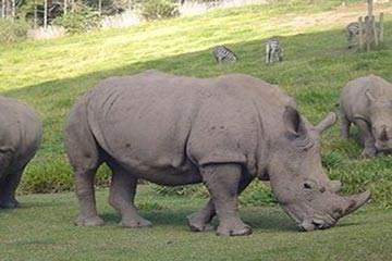 Soñar con Rinoceronte